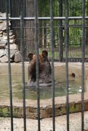 Bruine beer in Novosibirsk zoopark dierentuin
