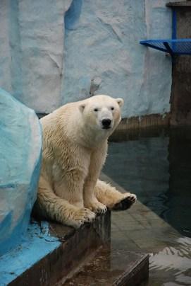 Novosibirsk zoopark dierentuin ijsbeer