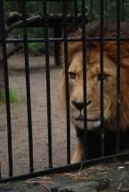Novosibirsk zoopark dierentuin leeuw