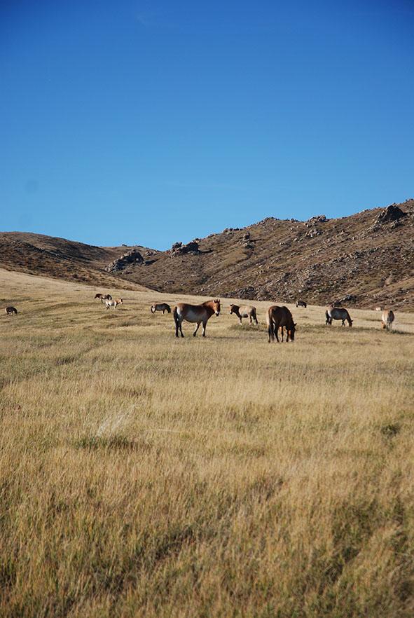 Hustai nationaal park Mongolië przewalskii paarden