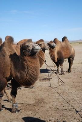 Kamelen semidesert Mongolië