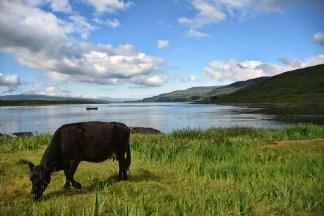 Landschap Ilse of Mull met een koe