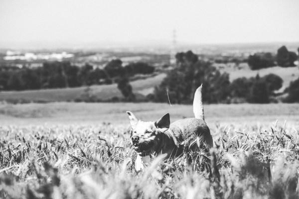 Labrador en campo de espigas