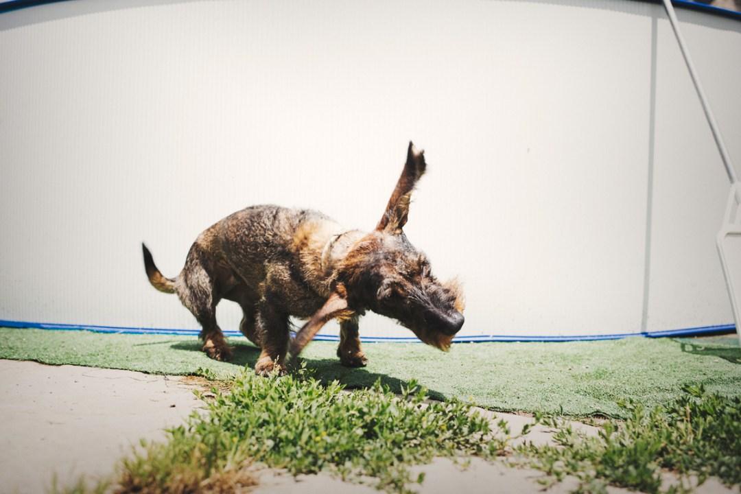 teckel y sus orejas al viento 2