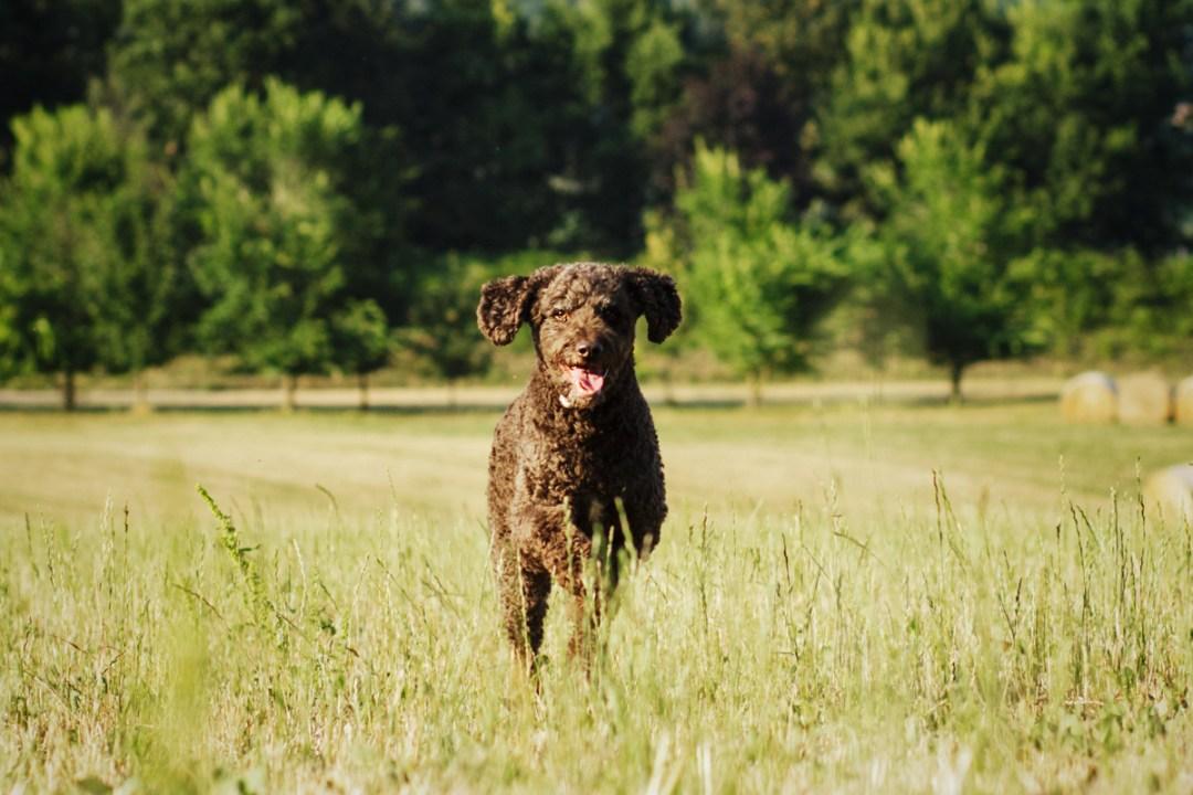 perro de aguas en el campo