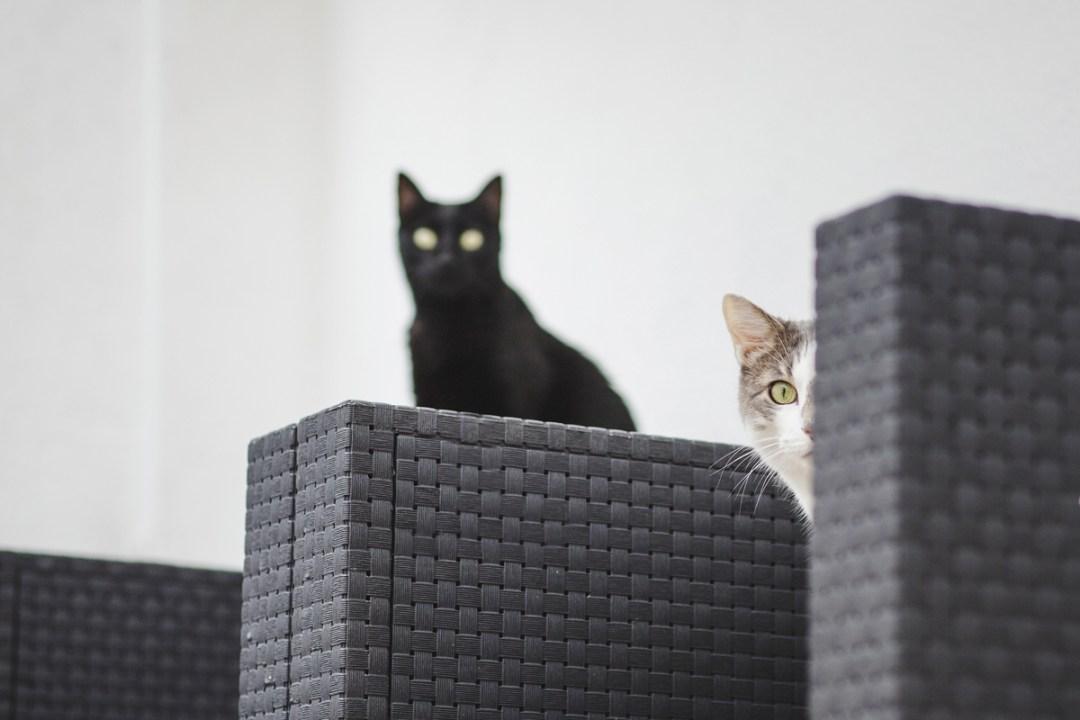 fotografo-de-mascotas-028-els-magnifics_gatos-lonabrugi