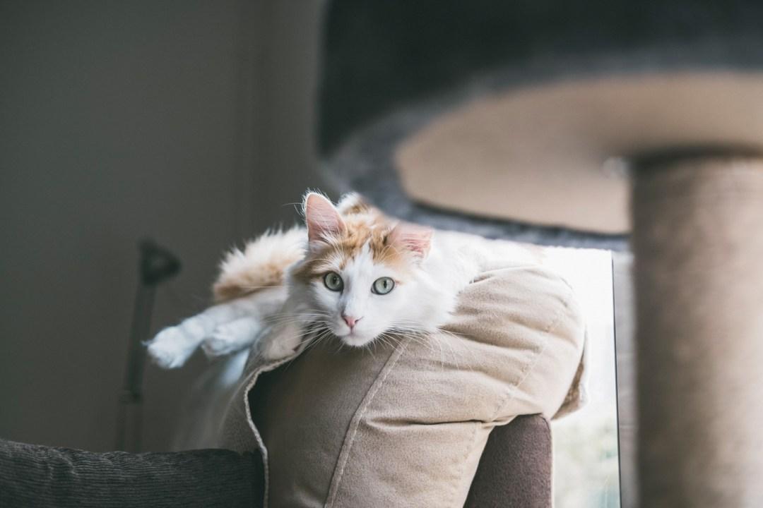 hermoso gato blanco mira a cámara