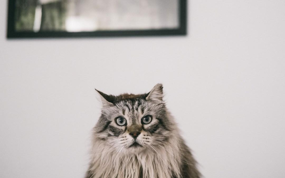 Fotógrafo Mascotas: Trio gatuno Masao, Robin&Ulot