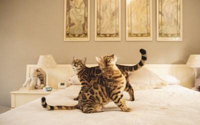 Protegido: Fotógrafo de Mascotas: BengalCat, la familia Nalama