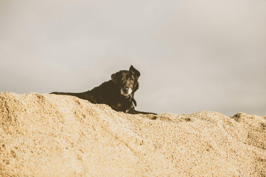 perro viejito en la playa