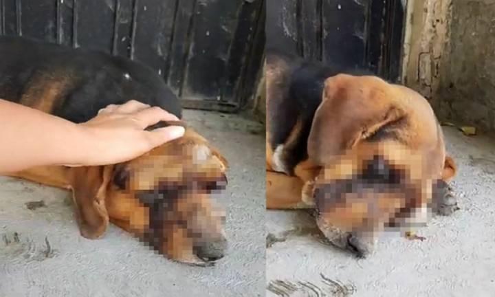 Dos fotos del perrito lesionado; se busca al responsable