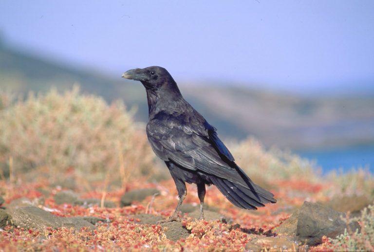 Cuervo canario © Aurelio Martín
