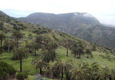 La Gomera cuenta con 116.330 palmeras del medio millon que hay en Canarias