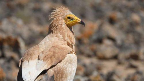 La conservación basada en ciencia que ha salvado al alimoche canario