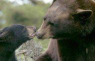 Arrestan a nueve personas en Florida por crueldad animal con osos