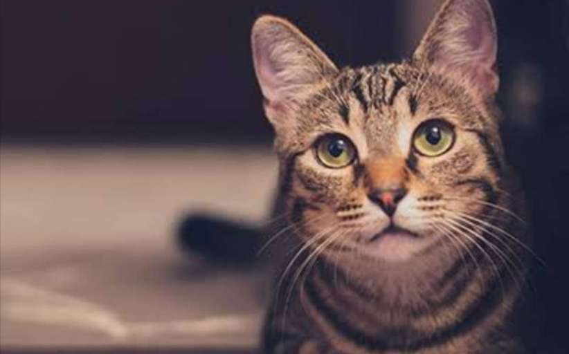 Un parásito gatuno puede causar esquizofrenia