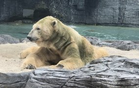 Muere el primer oso polar nacido en el trópico