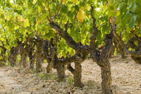 Características de los vinos D.O. Penedés