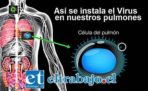 DE VIDA O MUERTE.- Una vez alojado el virus en nuestros pulmones, empieza la batalla por la vida dentro del ser humano.