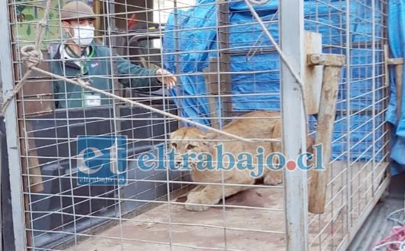 El puma herido en la jaula al momento de bajarlo en el Zoológico Nacional en Santiago.