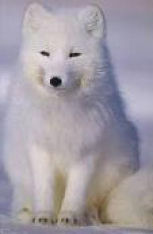 Arctic Fox Wallpaper Cute Aesthetic Zv 205 Ř 193 Tka A V E O Nich Fotoalbum Elmy Liska Polarni