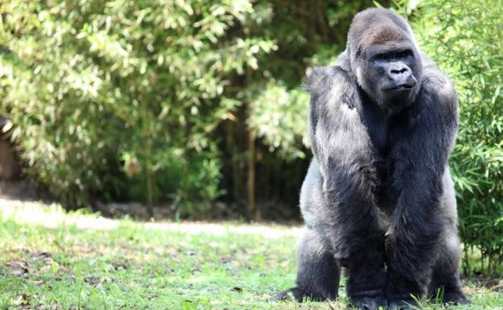 endangered gorilla dies at