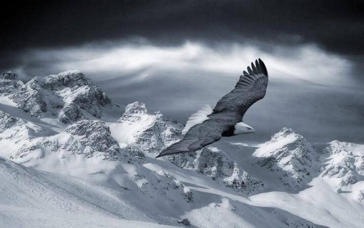 aguila-volando-sobre-la-nieve