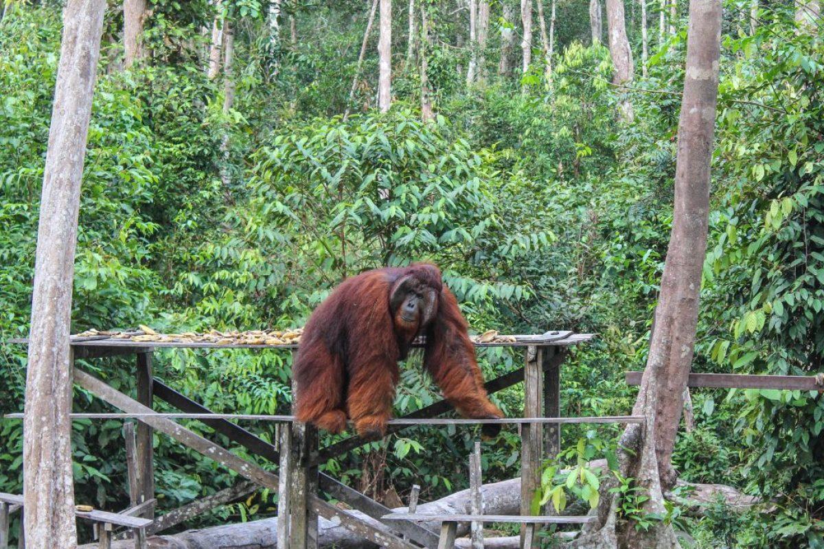 orangutanes-en-borneo-43