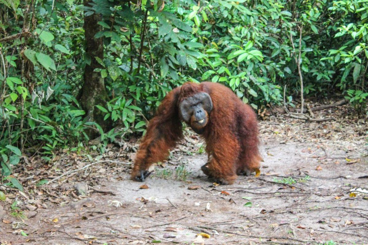 orangutanes-en-borneo-9