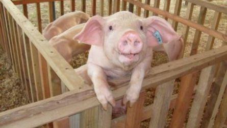 Resultado de imagen para Cerdos senasica