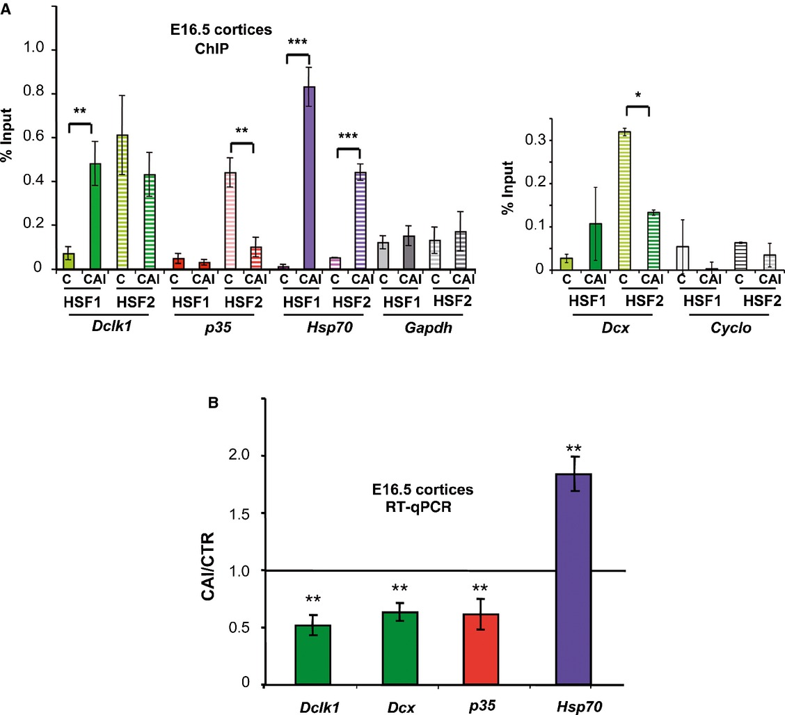 Heat shock factor 2 is a stress‐responsive mediator of neuronal migration defects in models of fetal alcohol syndrome | EMBO Molecular Medicine
