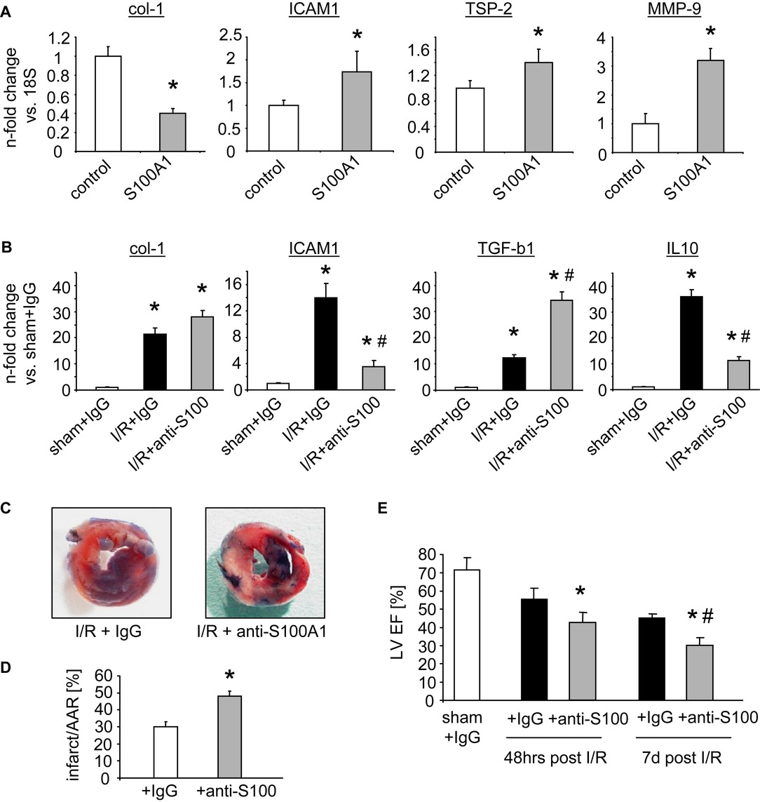 S100A1 is released from ischemic cardiomyocytes and