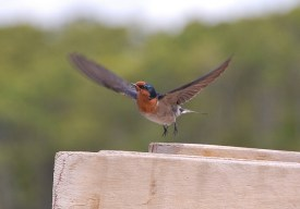 Welcome Swallow (Hirundo neoxena) by Noel Reynolds, on Flickr