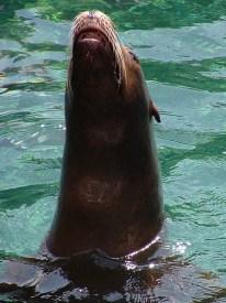 A sea-lion posing