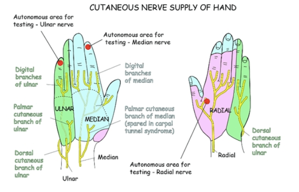 hand nerves diagram 2004 grand cherokee radio wiring emdocs net emergency medicine educationthe an expedited cutaneous nerve supply of the o rahilly r basic human