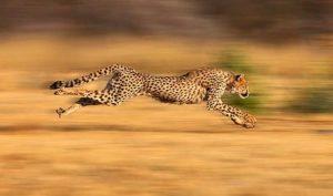 ways cheetahs adapt to