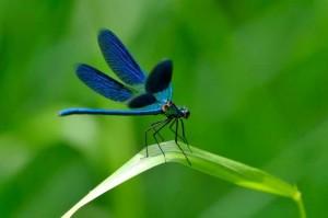 dragonflies_11612