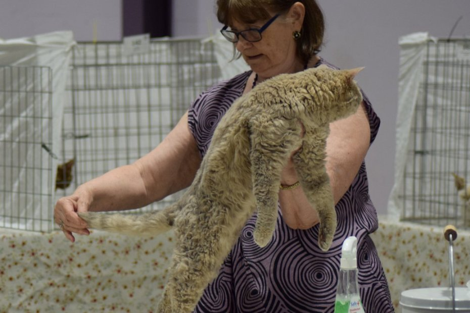 Pr Qtcat Curly Titch Selkirk Rex Shorthair lilac spotted tabby SNRF cat show