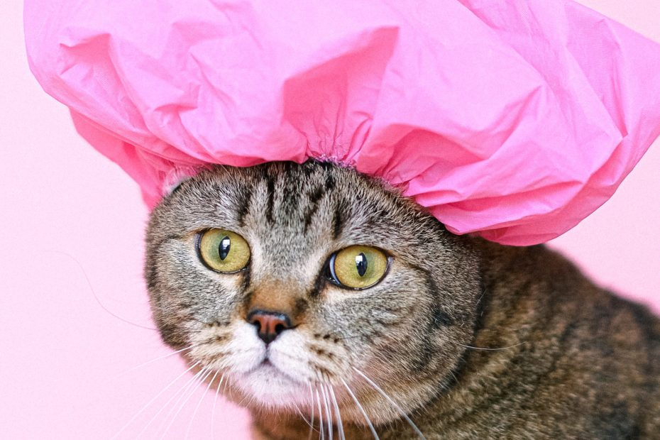 Brown tabby with shower cap