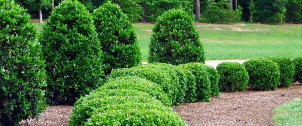 trimming landscaping hedges