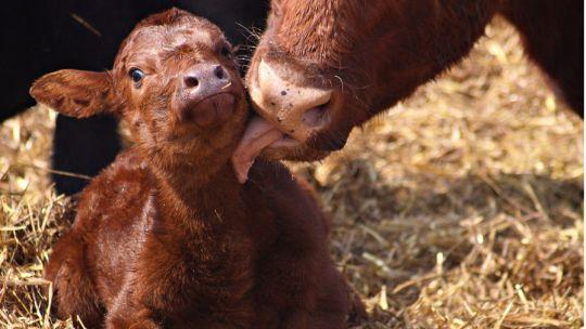 Calf-born-cropped