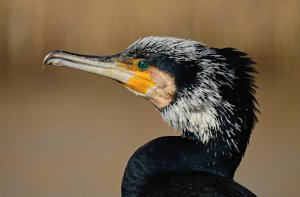 cormorant, water bird, animal