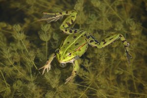 frog, green, amphibian