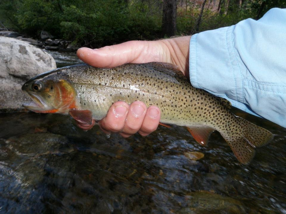 Yellowstone Cutty on Mill Creek. Paradise Valley, MT.