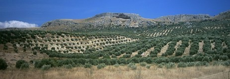 Olive Fields in Jaen