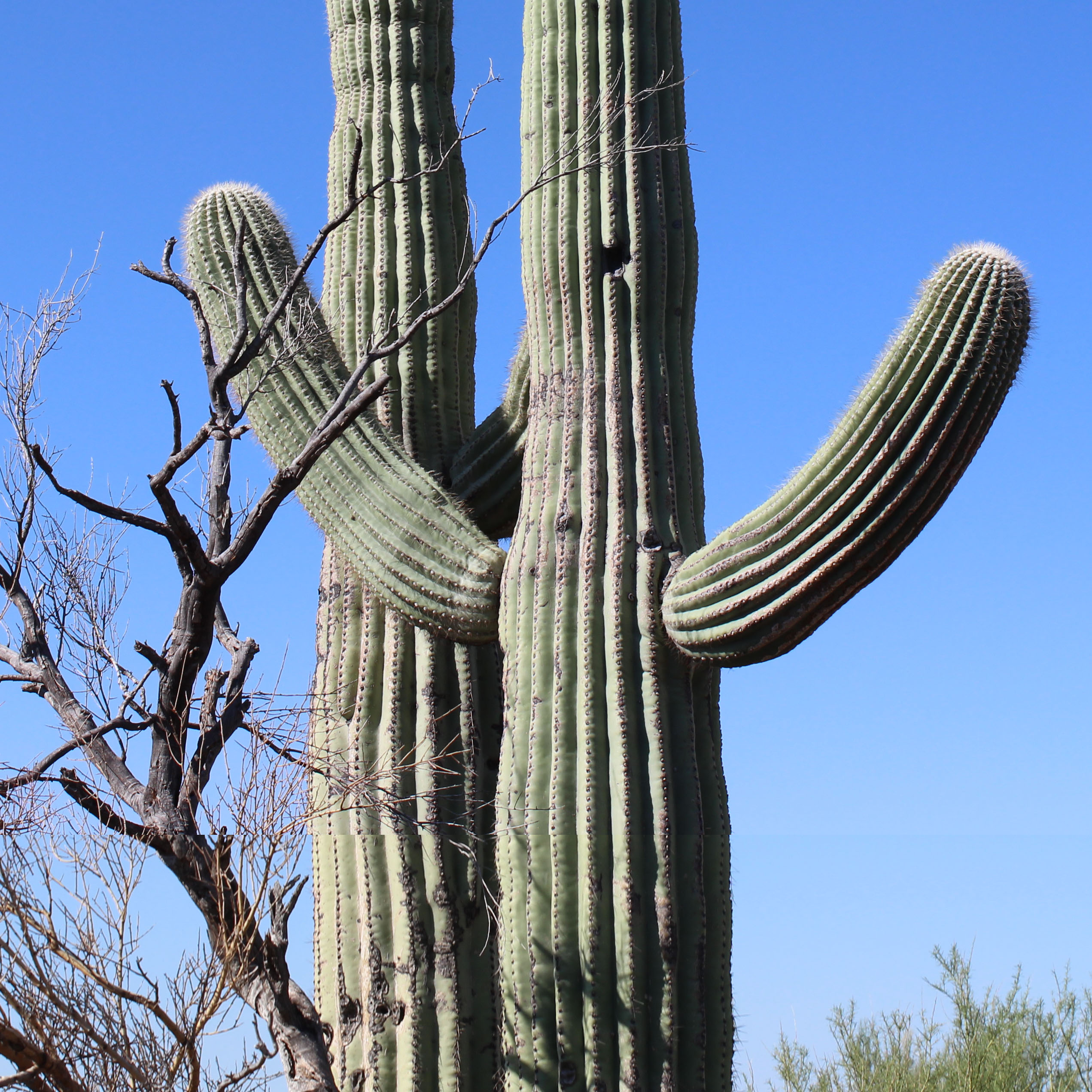 Nurse Trees And Saguaro Cacti