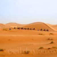 A caravan of camels in the Sahara desert