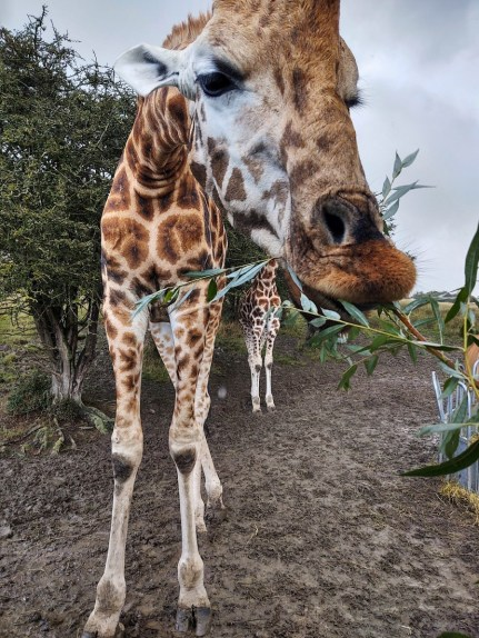 Giraffes Port Lympne