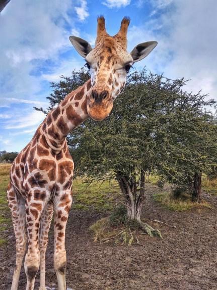 Giraffe Port Lympne