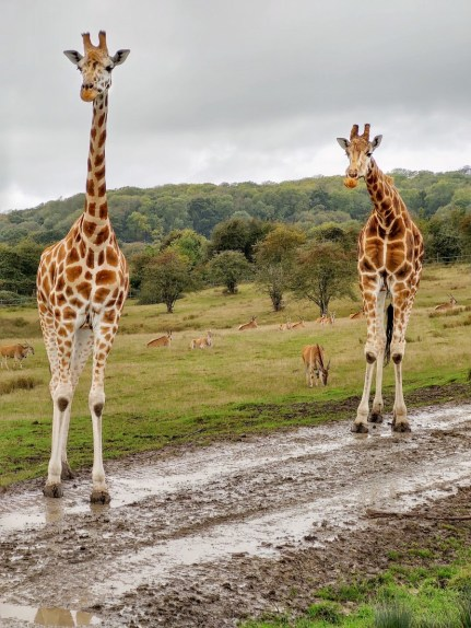 Giraffes Port Lympne